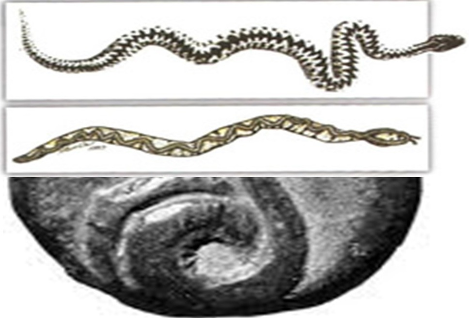 gjarperi-ilir